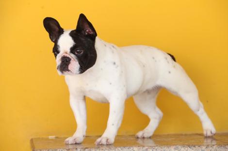 buldogue frances 2 470x313 - Raças de cachorros Pequenos para apartamentos