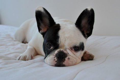 buldogue frances filhote 470x313 - Raças de cachorros Pequenos para apartamentos