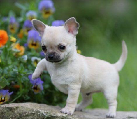cachorro chihuahua 1 470x408 - Raças de cachorros Pequenos para apartamentos