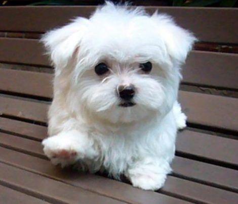 cachorro maltes 470x404 - Raças de cachorros Pequenos para apartamentos