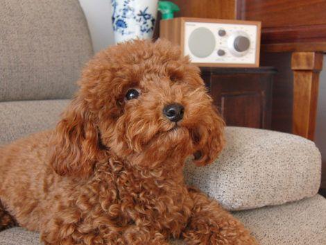 cachorro poodle 2 470x353 - Raças de cachorros Pequenos para apartamentos