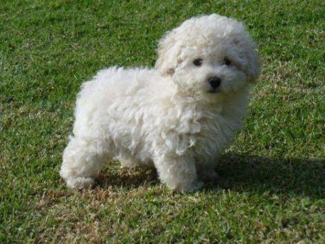 cachorro poodle 470x353 - Raças de cachorros Pequenos para apartamentos