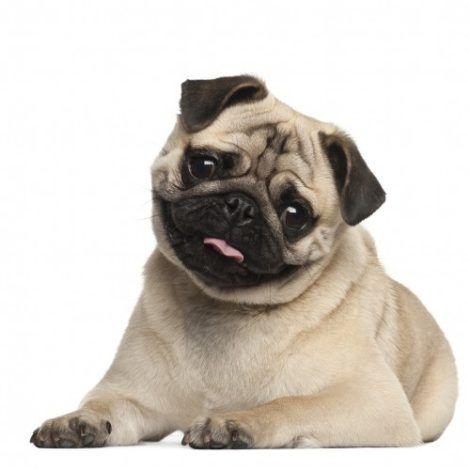 cachorro pug 1 470x470 - Raças de cachorros Pequenos para apartamentos