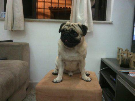 cachorro pug adulto 470x353 - Raças de cachorros Pequenos para apartamentos