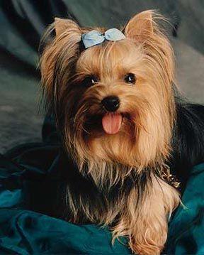 cachorro yorkshire - Raças de cachorros Pequenos para apartamentos
