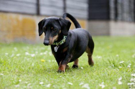 dachshund cofap rebaixado 470x313 - Raças de cachorros Pequenos para apartamentos