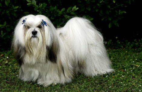 lhasa apso 470x306 - Raças de cachorros Pequenos para apartamentos
