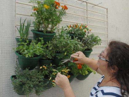 horta na sacada de apartamento como cultivar 420x315 - HORTA VERTICAL PARA SACADA do apartamento, veja