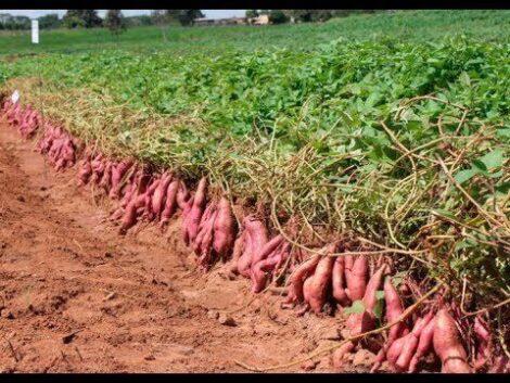como plantar batata doce 470x353 - Como Plantar Batata Doce, Passos, para cultivo