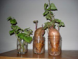 como plantar batata doce mudas - Como Plantar Batata Doce, Passos, para cultivo