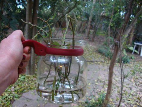 como plantar ora pro nobis 470x354 - Como plantar Ora pro Nobis, Cultivando