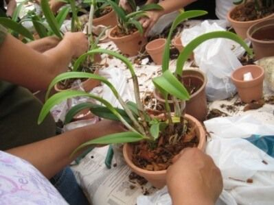 como plantar orquideas - Como Plantar Orquídeas, passos, para não Errar