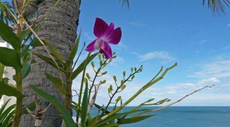 flores orquideas 470x261 - Como Plantar Orquídeas, passos, para não Errar