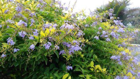 flores pingo de ouro 470x264 - Planta Pingo de Ouro para Jardim Ornamental