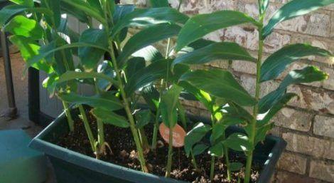 gengibre plantado 470x257 - Como Plantar Gengibre uma planta Medicinal