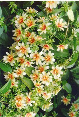 imagem 3 6 - Como plantar Ora pro Nobis, Cultivando