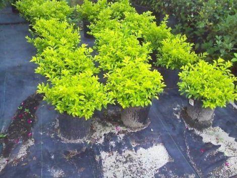 mudas pingo de ouro 470x353 - Planta Pingo de Ouro para Jardim Ornamental